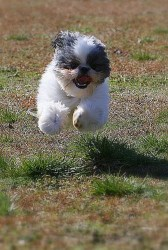 happy Shih Tzu running to its owner smiling