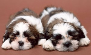 teacup and imperial shih tzu puppies ready to be picked up