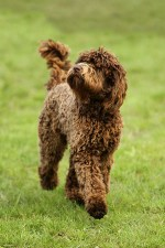 What is a barbet dog