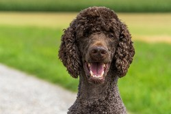 What were poodles bred for