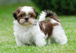confident Shih Tzu puppy standing and looking to take on the world