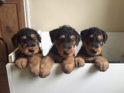 three Airedale Terrier puppies inside of a drawer