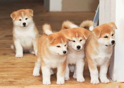4 adorable Akita puppies in the house looking for trouble to get into