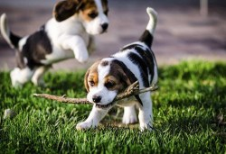 Two Foxhound puppies playing with a stick
