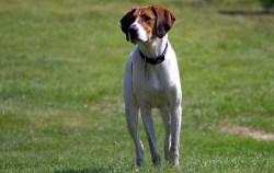 American Foxhound temperament