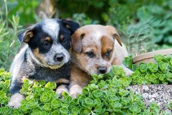 two australian cattle dog puppies  vying for attention