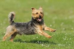 Australian Terrier running free in the field