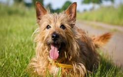Australian Terrier laying down in a grassy field while getting its picture taken