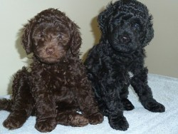 Two barbet puppies for adoption sitting and waiting for their forever home