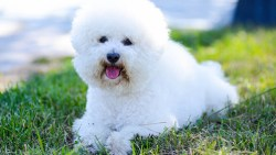 Bichon Frise laying on the grass without any worries whatsoever
