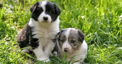 Two amazingly adorable and beautiful Border Collie puppies