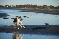 Borzoi dog running full sprint on the sand