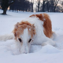 Borzoi dog resting in the snow