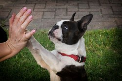 boston terrier giving its owner a high five