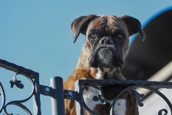 Boxer guard dog looking over the fence of the yard it is protecting