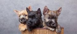 3 cairn terrier puppies in a basket looking too cute