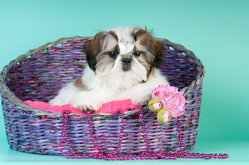 caring for a shih tzu puppy