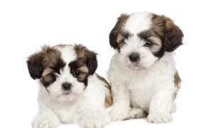 caring for shih tzu puppies - two adorable shih tzu puppies relaxing
