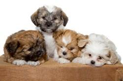 caring shih tzu puppies