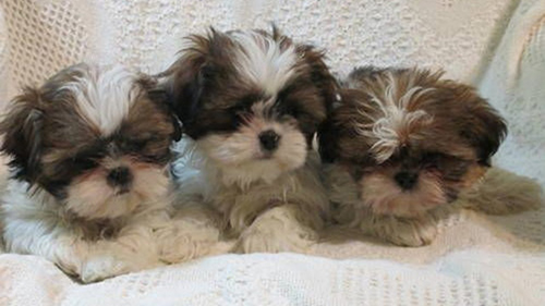caring for shih tzu puppies