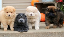 4 chow chow puppies standing on the step