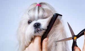 untangle shih tzu hair knots