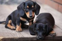 2 Dachshund puppies looking shy for the camera