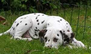 image of Dalmatian dog relaxing