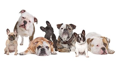 Different types of bulldogs behaving for a group picture