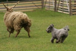 Pumi dog doing its job and herding a big bull
