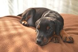 Doberman Pinscher puppy taking a nap on a blanket