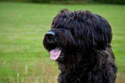Briard looking to protect the herd