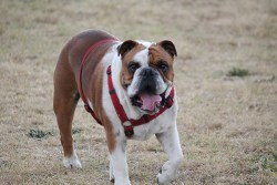 dog leashes and collars: Image of bulldog walking with a chest-led harness