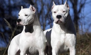 two dogo argentino looking handsome and hanging out