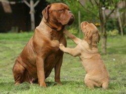 dogue de bordeaux puppy with mom in a family get together