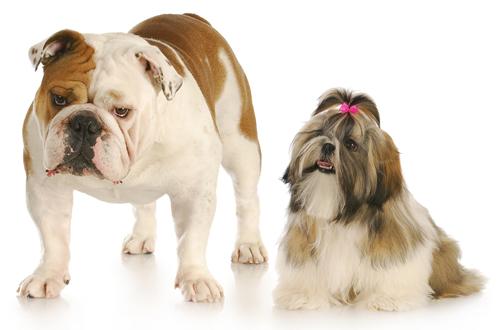 english shih tzu - american bulldog and shih tzu hanging out