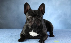 french bulldog sitting looking cute