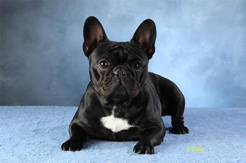 french bulldog sitting looking cute