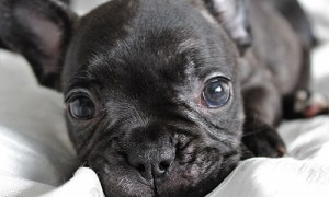 one of the adorable black french bulldog puppies for sale