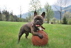 The French Bulldog playing with a basketball