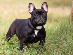 French Bulldog standing on alert like the good watchdogs they are