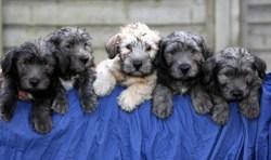 5 glen of imaal terrier puppies for sale on display