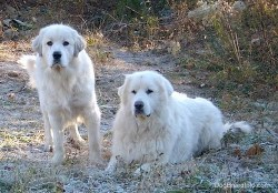 Two great pyrenees dogs hanging out in the outdoors