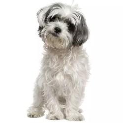 happy shih tzu puppy