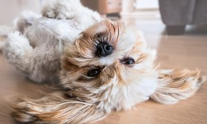 healthy and happy shih tzu