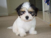 tri-color cute shih tzu sitting on the floor looking for attention
