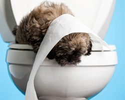 Little brown dog on the top of a toilet looking down with toilet paper on its head