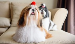 how much activity does a shih tzu need