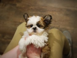 how much should i pay for a shih tzu puppy