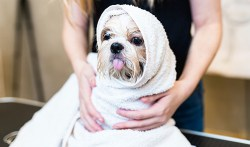 adorable shih tzu rolled up in a towel after a bath